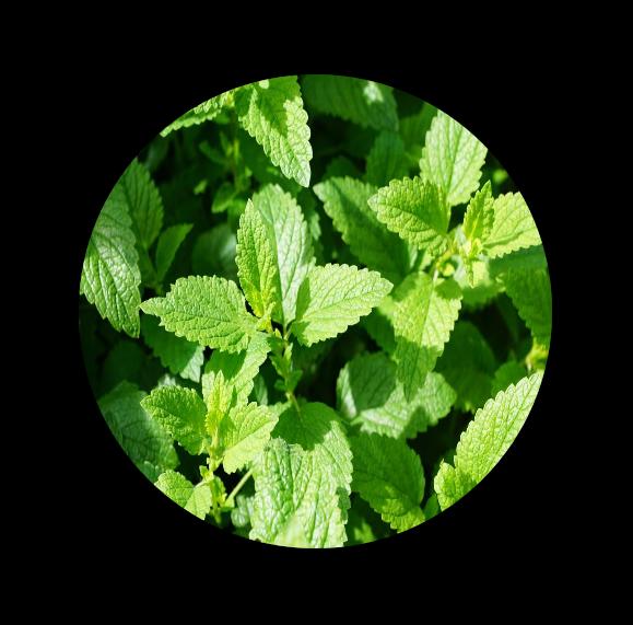 NOX BELLCOW-Cannabis Sativa Skin Care-13